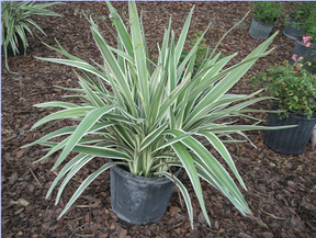 Variegated Flax Lilly